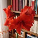Ponavadi naredi 3-4 cvetove, včasih po dva cvetna stebla. Odcvetele cvetove odstranimo, st