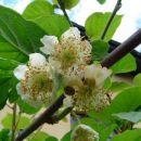 cvet kivija 2