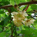 cvet kivija