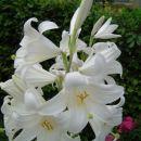 jožefova lilija