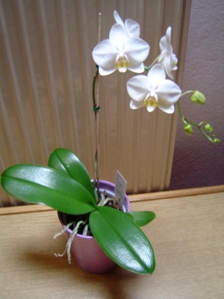Orhideja Phalaenopsis maj 2005