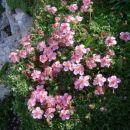 rože, Prisank