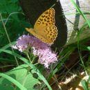 Roža in metulj, Begunjščica