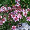rožce na Prisanku (Prisojnik)