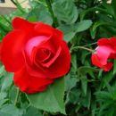 vrtnica 3