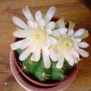 cvetoči lepotec