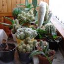 kaktusi med zimskim počitkom (2)