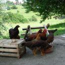Navadne kokoši