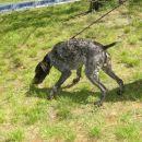 Njemački ptičar-german pointer Oštar lovni pas iz njemačke