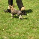 Kineski kukmasti pas-chinese crested  Mali kućni pas porijeklom iz kine