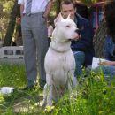 Dogo argentino Veliki bijeli pas iz argentine