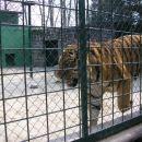 Sibirski tigrar Najveća mačka na Zemlji