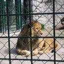 Afrički lav Jedina mačka koja živi u čoporu