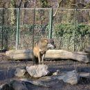 Europski sivi vuk Lovi i živi u čoporima