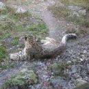 Snježni leopard Unatoč imenu, on ne spada u porodicu leoparda