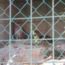 Kineski leopard Mačka koja može plivati i penjati se na drvo i to voli raditi