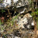Bjelouška Neotrovna vrsta zmije koja živi u primorju