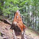 Nekoč je bilo tole mogočno drevo