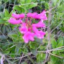 Rože na Komnu