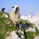 Radovednih ovc