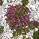 Triglavska roža (po legendi zrasla iz krvi smrtno ranjenega zlatoroga)