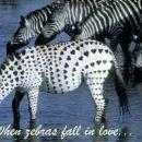 zaljubljena zebra