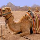Camel riding na Sinaju v Egiptu