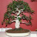 bonsaji - Opatija