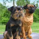 belgijski grifon Morris in mala brabantka Rhea