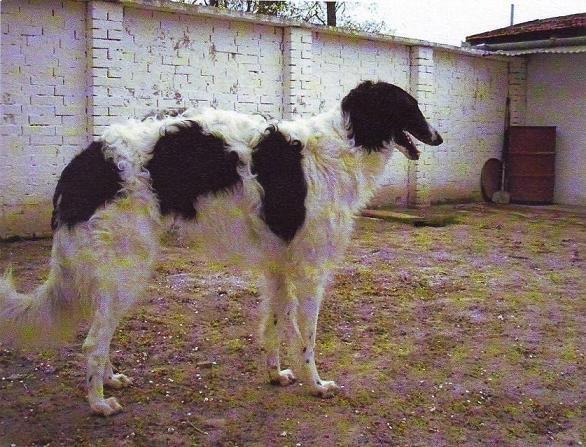 Uor borzoi from serbia - foto