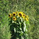 Osamljene sončnice
