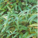 Prednja stran, izgled rastline in ime.