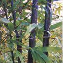 Slika bambusa