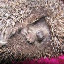in sezona ježev - tale je bil najbolj slabe volje - dva dni so a imele skritega v veži