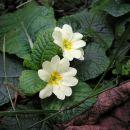 so pa cvetele trobentice - konec septembra