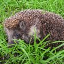 o tem, kako imenitnio se je dalo zabavati z ježi na vrtu...