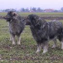 Ch. ŠANA,  Ch. BONI  SREDNJEDRAVSKA   NA SPREHODU  11.  2006